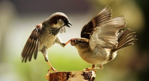funny_bird_fight-1280x720